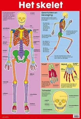 Educatieve poster - Het skelet | vanaf 7 jaar